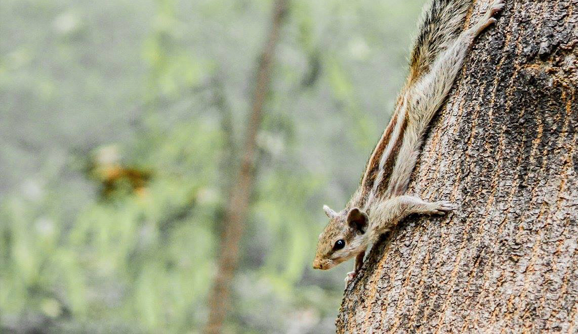 Chipmunk basks on a tree in India