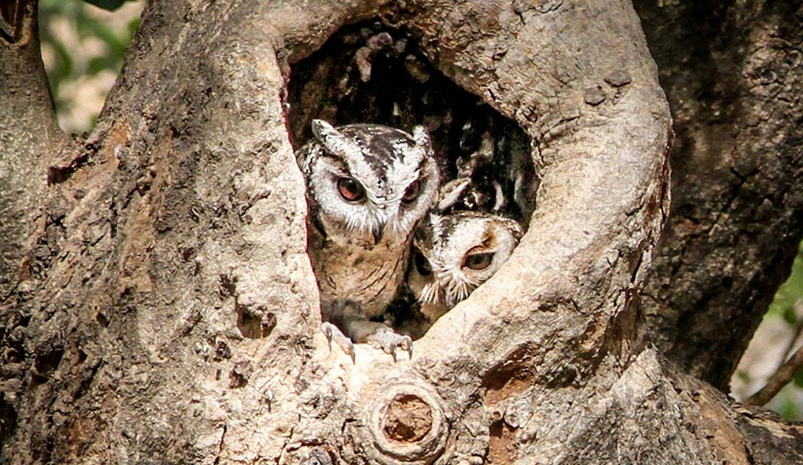 Owls in India
