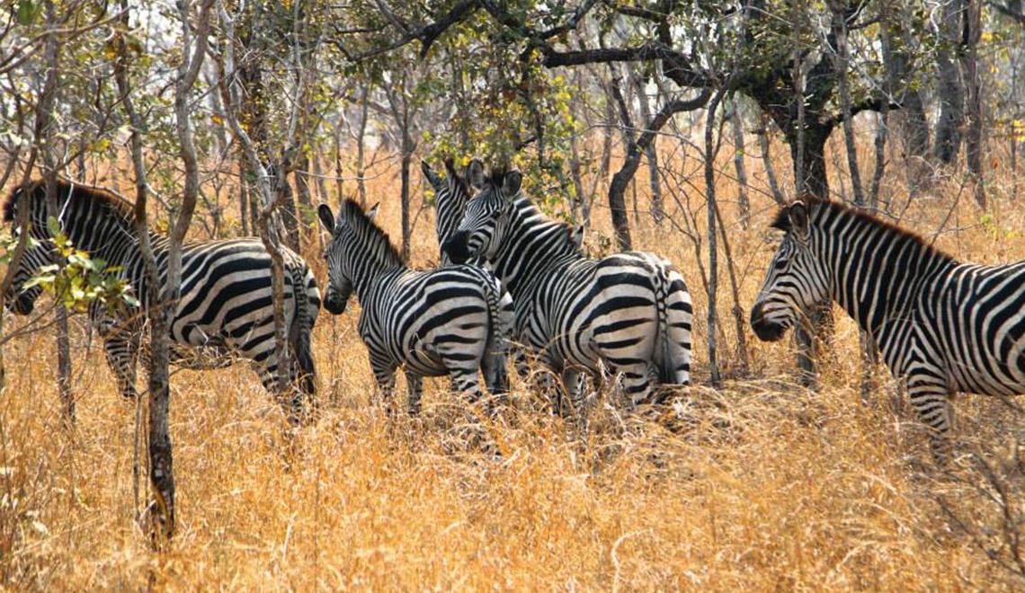 zebra in Malawi