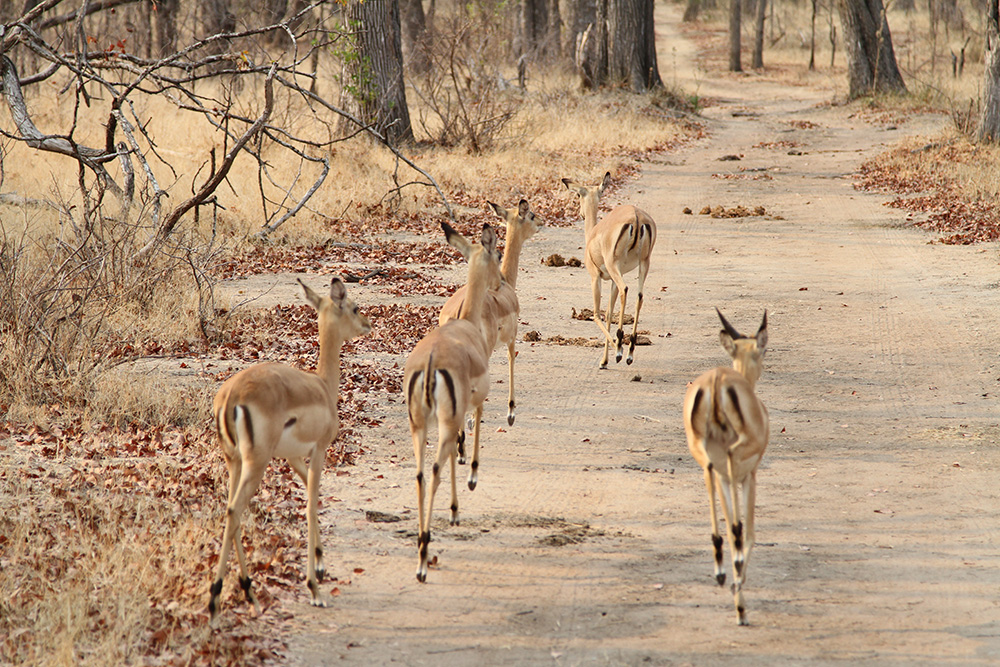 Impala on Malawi Safari