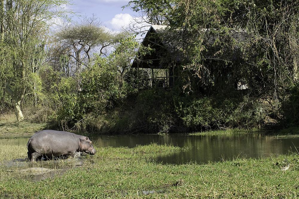 Hippo visits Mvuu Lodge Malawi Safari