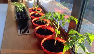 Growing Tomatoes on my windowsill