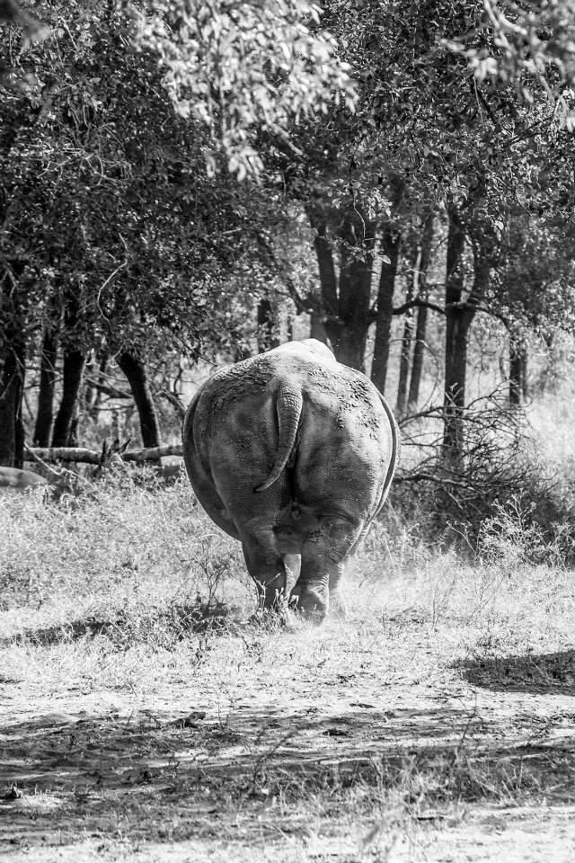 rhino-in-swaziland