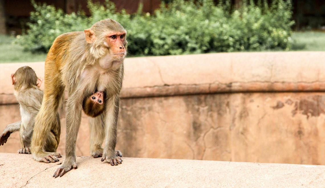monkeyfamily-in-india